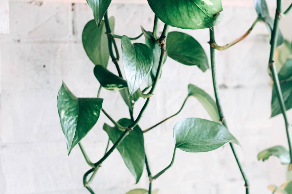 Pothos (Scindapsus aures)
